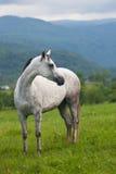Bello cavallo grigio Fotografia Stock Libera da Diritti