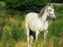 Bello cavallo grigio, il raccolto vicino orizzontale Fotografie Stock
