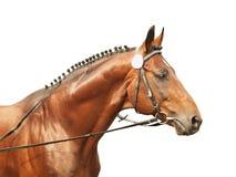 Bello cavallo isolato su bianco Fotografie Stock Libere da Diritti