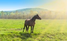 Bello cavallo marrone che sta da solo sul campo verde in un giorno di estate soleggiato fotografia stock libera da diritti