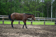 Bello cavallo nel villaggio Fotografia Stock Libera da Diritti
