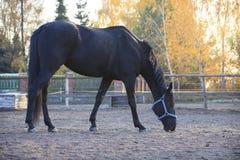 Bello cavallo nero alla luce di pomeriggio Immagine Stock Libera da Diritti