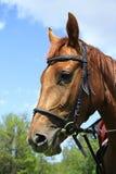 Bello cavallo su un prato in estate Immagine Stock Libera da Diritti