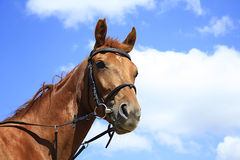 Bello cavallo su un prato in estate Fotografie Stock Libere da Diritti