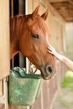 Bello cavallo in una stalla Immagine Stock Libera da Diritti