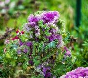 Bello cavolo decorativo di fioritura Fotografie Stock