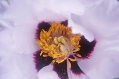 Bello centro del fiore bianco specialmente per una ragazza fotografie stock libere da diritti