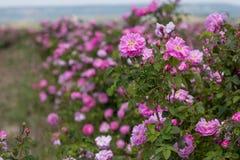 Bello cespuglio delle rose rosa in un giardino della molla Giacimento di fiore Il campo di tè è aumentato Roseto Immagini Stock
