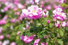 Bello cespuglio delle rose rosa in un giardino della molla Giacimento di fiore Il campo di tè è aumentato Roseto Fotografia Stock Libera da Diritti