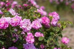 Bello cespuglio delle rose rosa in un giardino della molla Giacimento di fiore Il campo di tè è aumentato Roseto Immagini Stock Libere da Diritti