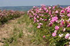 Bello cespuglio delle rose rosa in un giardino della molla Giacimento di fiore Il campo di tè è aumentato Roseto Immagine Stock Libera da Diritti