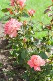 Bello cespuglio di rosa Fotografia Stock Libera da Diritti