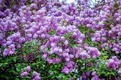 Bello cespuglio lilla di fioritura Immagini Stock