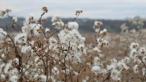 Bello cespuglio nell'area della steppa con i fiori lanuginosi bianchi in autunno tardo stock footage