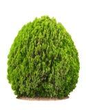 Bello cespuglio verde Fotografia Stock Libera da Diritti