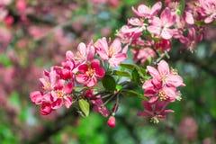 Bello Cherry Blossom nella stagione di tempo di primavera Natura astratto Fotografia Stock Libera da Diritti
