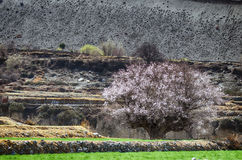 Bello Cherry Tree di fioritura su un'erba verde intenso Fotografie Stock