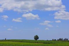 Bello cielo della nuvola sopra verde del giacimento della manioca o della manioca Fotografia Stock Libera da Diritti