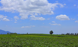 Bello cielo della nuvola sopra verde del giacimento della manioca o della manioca Fotografia Stock