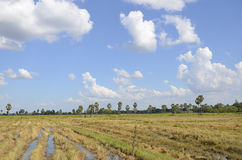 Bello cielo nella stagione del raccolto del riso Fotografie Stock
