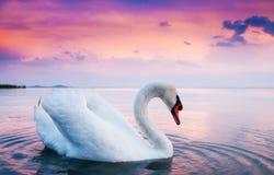 Bello cigno bianco Immagini Stock