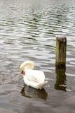 Bello cigno bianco Fotografia Stock