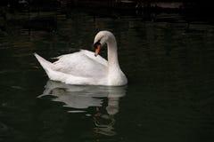 Bello cigno bianco Fotografie Stock