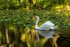 Bello cigno bianco che scivola su un fiume di colore Immagine Stock