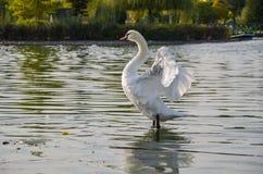 Bello, cigno delicato e solo che galleggia sul lago nel selvaggio immagine stock