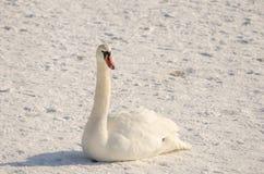 Bello cigno muto bianco sulla spiaggia congelata coperta di neve nell'orario invernale Fotografia Stock