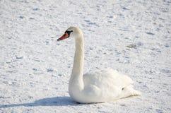 Bello cigno muto bianco sulla spiaggia congelata coperta di neve nell'orario invernale Fotografie Stock Libere da Diritti