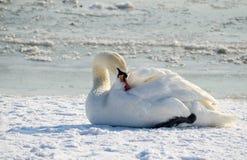 Bello cigno muto bianco sulla spiaggia congelata coperta di neve nell'orario invernale Immagini Stock Libere da Diritti