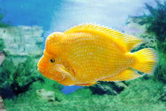 Bello citrinellusc di Amphilophus del pesce dell'acquario Fotografie Stock