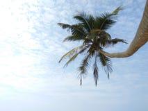 Bello cocco della foto dello Sri Lanka della palma Fotografia Stock Libera da Diritti
