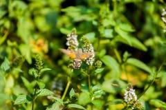 Bello colibrì europeo che cerca alimento fra i fiori immagini stock