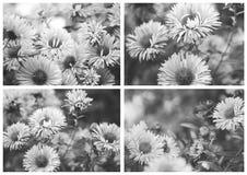 Bello collage stilizzato, foto in bianco e nero Autumn Flower - crisantemo fotografia stock