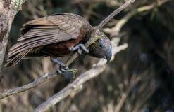 Bello, colorato, il pappagallo di Kaka si appollaia sul ramo Fotografie Stock