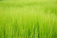 Bello colore del giacimento del riso Immagine Stock