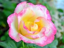 Bello colore rosa di rosa Fotografie Stock