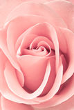 Bello colore rosa di rosa, primo piano Immagine Stock Libera da Diritti
