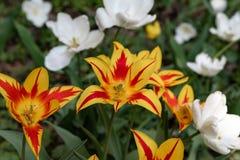 Bello con i tulipani arancio del prato inglese porpora su fondo leggero Giorno di estate pieno di sole Priorit? bassa floreale lu fotografia stock libera da diritti