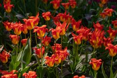 Bello con i tulipani arancio del prato inglese porpora su fondo leggero Giorno di estate pieno di sole Priorit? bassa floreale lu fotografia stock