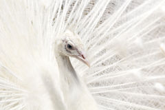 Bello con il pavone con le piume fuori immagini stock libere da diritti