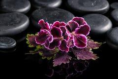 Bello concetto della stazione termale della foglia dell'ortica con il fiore del geranio del velluto Immagine Stock Libera da Diritti