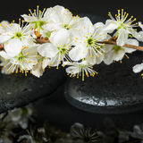 Bello concetto delle pietre di zen, prugna di fioritura della stazione termale del ramoscello Fotografie Stock Libere da Diritti