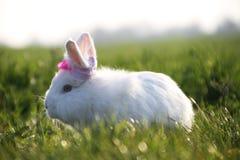 Bello coniglio bianco su erba verde di estate Fotografia Stock