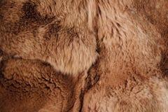Bello coniglio di Rex della pelliccia della testarossa per abbigliamento immagini stock libere da diritti