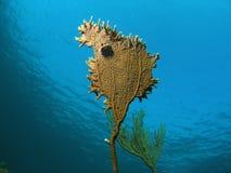 Bello corallo del fuoco Immagini Stock Libere da Diritti