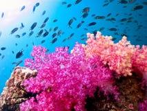 Bello corallo molle Immagini Stock Libere da Diritti