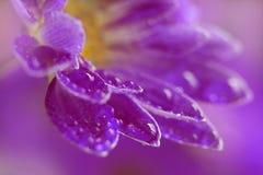 Bello crisantemo Fotografie Stock